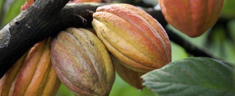 cacao_news_k